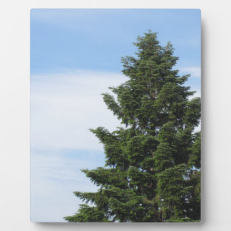 Green fir tree against a clear sky plaque