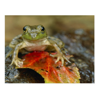 Green frog along the Buffalo Creek bank, Wet Postcard