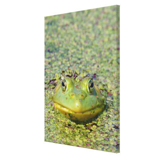 Green frog in duckweed, Canada Canvas Print