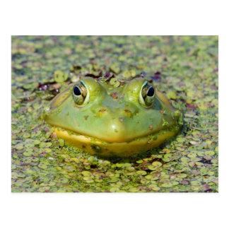 Green frog in duckweed, Canada Postcard