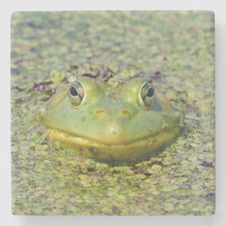 Green frog in duckweed, Canada Stone Coaster