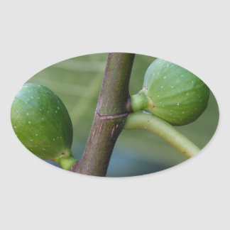 Green fruits of a common fig  tree oval sticker