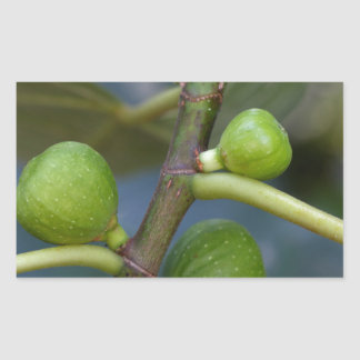 Green fruits of a common fig  tree rectangular sticker