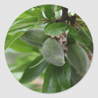 Green fruits of an almond tree round sticker