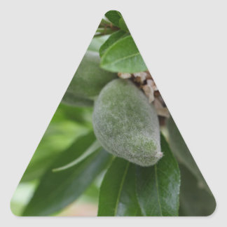 Green fruits of an almond tree triangle sticker