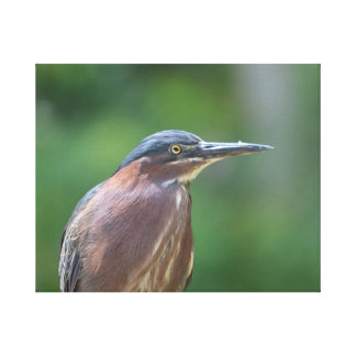Green Heron Stretched Canvas Print