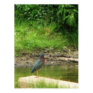 Green Heron Post Card