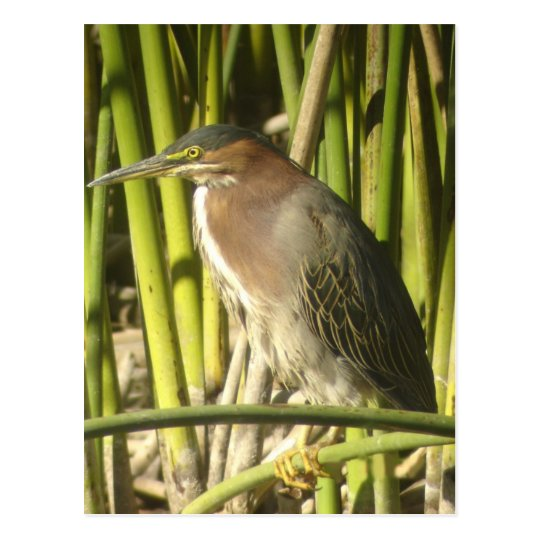 Green Heron Postcard