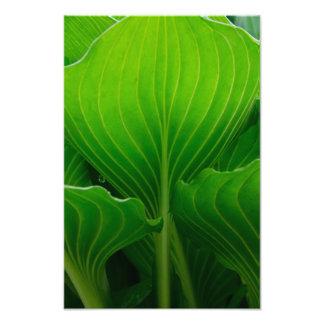 Green Hosta Leaf Photographic Print