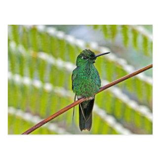 Green Hummingbird Photo Postcard
