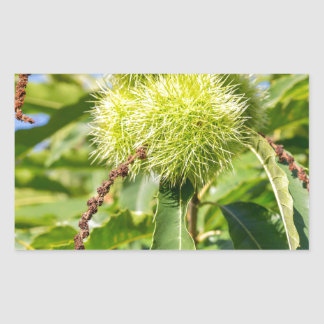 Green husks and leaves of sweet chestnut tree rectangular sticker