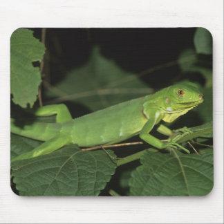 Green Iguana, (Iguana iguana), Common Iguanas Mouse Pad