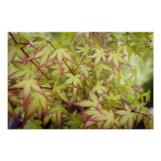 Green Japanese Maple with Red Fringe Print