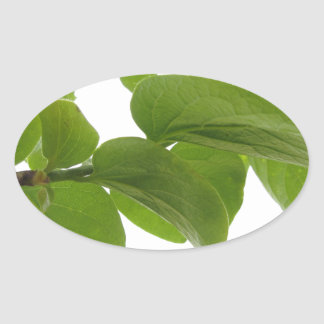 Green leaves of persimmon tree on white background oval sticker