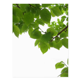 Green leaves of persimmon tree on white background postcard
