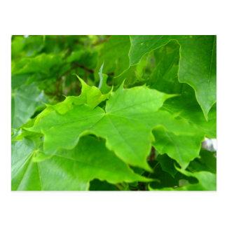 Green Maple Postcard