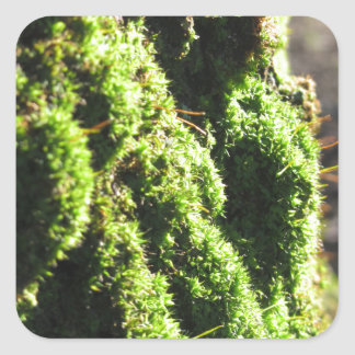 Green moss in nature  Detail of moss covered trunk Square Sticker