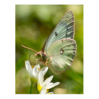 Green Moth on False Garlic Apparel and Gifts Postcard
