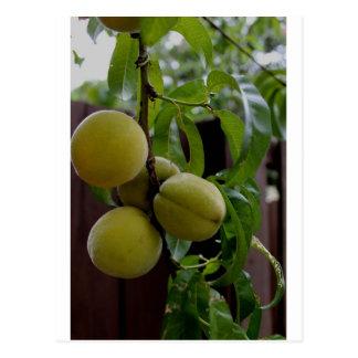 Green Peach Notecards Postcard