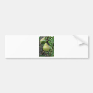 Green pears hanging on a growing pear tree bumper sticker