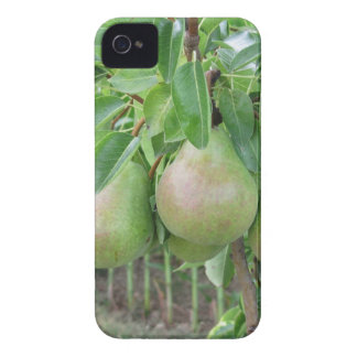 Green pears hanging on a growing pear tree Case-Mate iPhone 4 cases