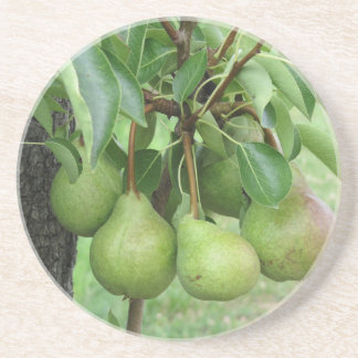 Green pears hanging on a growing pear tree coaster
