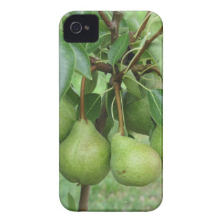 Green pears hanging on a growing pear tree iPhone 4 cases