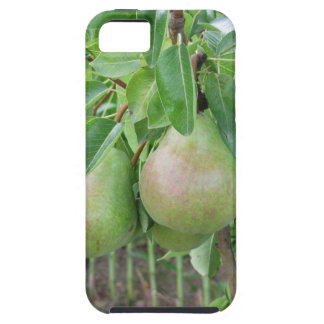 Green pears hanging on a growing pear tree iPhone 5 cases
