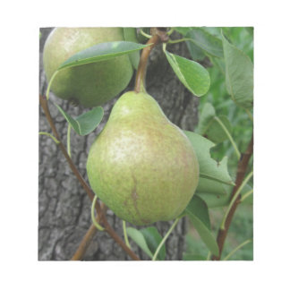 Green pears hanging on a growing pear tree notepad
