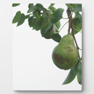 Green pears hanging on a growing pear tree plaque
