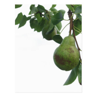 Green pears hanging on a growing pear tree postcard