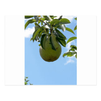 Green pears on tree branches postcard
