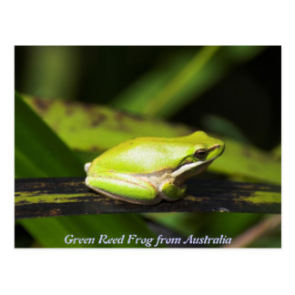 Green Reed Frog Postcard
