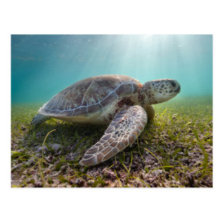 Green Sea Turtle At Dusk | Akumal Bay Postcard