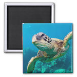 Green Sea Turtle Swimming Over Coral Reef |Hawaii Square Magnet