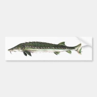 Green Sturgeon - Acipenser medirostris Bumper Sticker