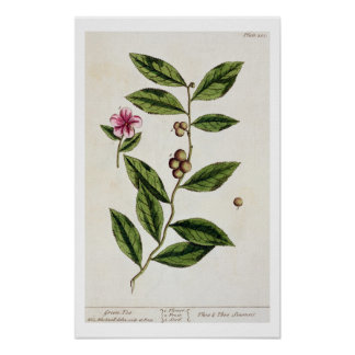 Green Tea, plate 351 from 'A Curious Herbal', publ Poster