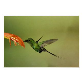 Green Thorntail Hummingbird, Cordillera Poster
