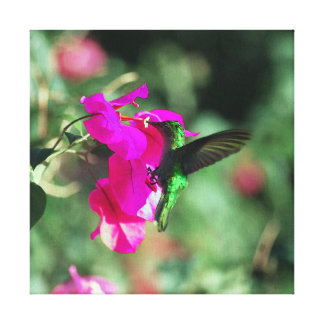 Green Throated Carib Hummingbird on Bougainvillea Stretched Canvas Prints