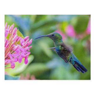 Green Throated Carib Hummingbird Postcard