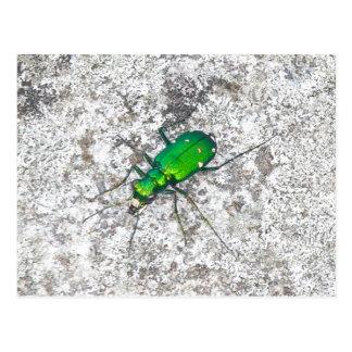 Green Tiger Beetle Postcard
