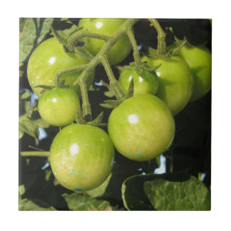 Green tomatoes hanging on the plant in the garden ceramic tile