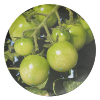 Green tomatoes hanging on the plant in the garden plate