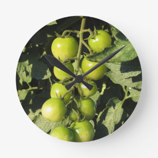 Green tomatoes hanging on the plant in the garden round clock