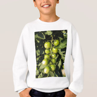 Green tomatoes hanging on the plant in the garden sweatshirt