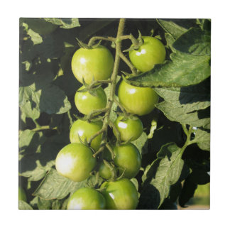 Green tomatoes hanging on the plant in the garden tile