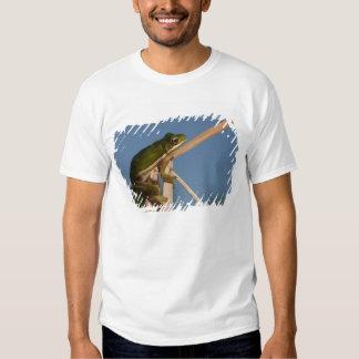 Green Tree Frog Hyla cinerea) Little St T Shirt