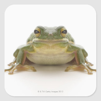 Green tree frog (Hylidae cinerea) Square Sticker