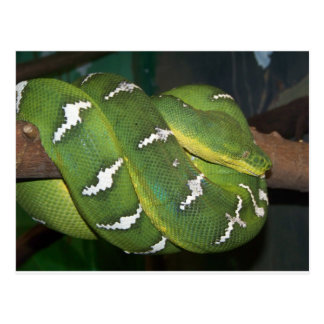 Green Tree Python Postcard