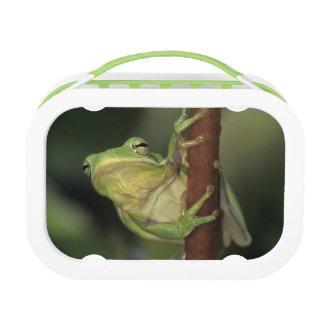 Green Treefrog, Hyla cinerea, adult on yellow Lunchbox